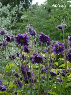 Garden Diascia: AQUILEGIA BLUE BARLOW