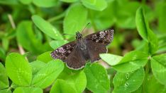 Suomen Perhoset Metsähiipijä » Suomen Perhoset Moth, Insects, Butterfly, Animals, Animales, Animaux, Butterflies, Bow Ties, Animal