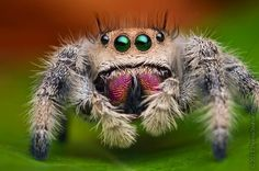 """Jumping Spider ~ Miks' Pics """"Arachnids and  Insects l"""" board @ http://www.pinterest.com/msmgish/arachnids-and-insects-l/"""