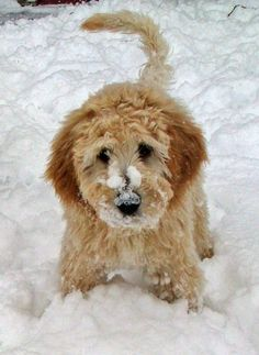 Riggins the Goldendoodle  oh my goodness how precious!