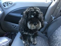 """Lucy. 4 yr old Cavalpoo. 1 year ago her parents got a 3 year old King Charles Cavalier Spaniel. She """"never warmed up to him."""" Well, she warmed up immediately to all of our 7 poodle pack. She's a super sweet, well  behaved, pretty girl. Happy to have her for the Christmas season."""