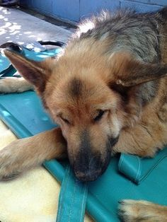 A sad update, Kuma, the German shepherd in California animal control