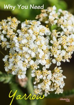 Herbal Medicine Why You Need Yarrow - A great plant with many natural medicinal uses, yarrow is easy to grow and should be in your home apothecary! The Homesteading Hippy Healing Herbs, Medicinal Plants, Natural Healing, Natural Medicine, Herbal Medicine, Chinese Medicine, Homeopathic Medicine, Yarrow Plant, Types Of Herbs