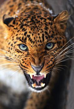 carte imprimé chez poster xxl - leopard