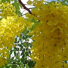 Thailand's national flower, the Cassia fistula, comes from the golden shower tree in the family Fabaceae and is native to southern Asia. Locally, it is  called dok khuen or Rachapruek. The flowers are produced in pendulous racemes 20–40 cm (8–15 in) long, each flower 4–7 cm diameter with five yellow petals of equal size and shape. The Thai people like its yellow hue as the colour of Buddhism.