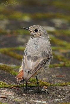 Black Redstart (juvenile)