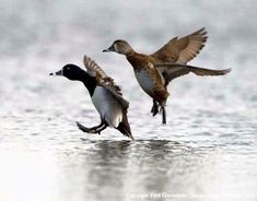 Beautiful pair of Golden Eye Hunting Tips, Duck Hunting, Duck Mount, What The Duck, Waterfowl Hunting, Ducks Unlimited, Game Birds, Lake Life, Outdoor Life