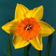 Daffodil   Needs no description and evokes spring more than any other cut flower