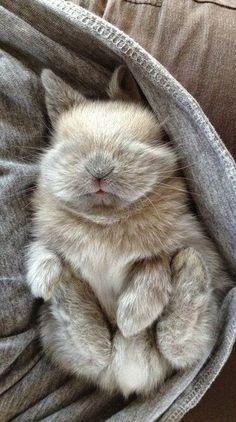miniature rabbit asleep