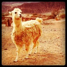 One day I will have a llama ranch.
