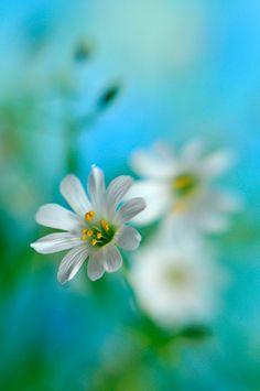 stellaria holostea - I  by alexedg