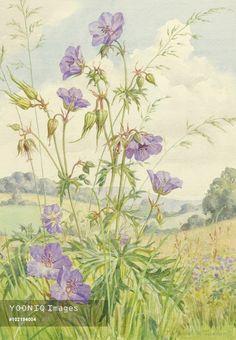 Meadow Cranesbill growing in a landscape.- Margaret Tarrant
