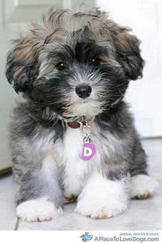Havanese cuteness. Looks just like our Havanese when she was little. A very nice dog. She loves to run in the yard.