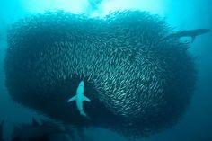 Cardumen de sardinas