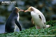 Normal and leucistic yellow-eyed penguins. No prizes for guessing that the one on the right is called Luke at the colony.