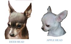 """The great debate of chihuahua-ness is """"apple"""" heads and """"deer"""" heads. For a more detailed description, click here to see! I will give a bri..."""