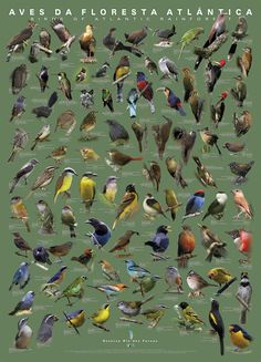 Aves da Mata Atlantica