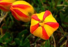 Gentianella hirculus [Family: Gentianaceae]