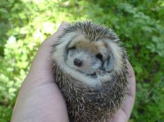 The Long-eared Hedgehog uses grasses to make a comfy, cozy nest where it spends its time relaxing. It's really the only place a Long-eared Hedgehog can relax since it has numerous predators that are out to get its thorny little butt. It also nuzzles up for the months of October through March when it hibernates.