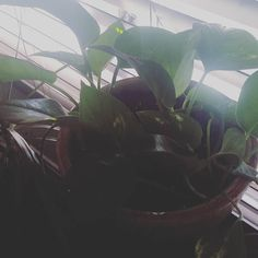Happy in its new home.  Welcome to Sprout + Stem! #plant #plants #plantsofinstagram #plantlove #plantlady #plantporn #plantgang #plantsmakemehappy #plantsmakepeoplehappy #houseplants #urbanjungle #growingthings #plantbabies #indoorgarden #indoorplants #greenry #greenthumb #phytophilous #repotted #newpottery #pottery #jackalopepottery #sproutandstem