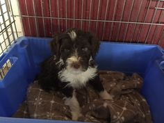 Jasper  Portuguese Water Dog | Pawshake