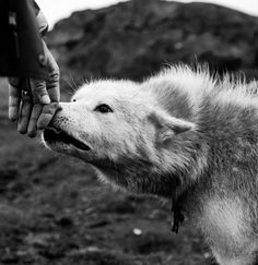wolf sniffing hand