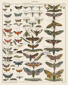 Moths, Death's Head Sphinx Moth from Antique Butterfly & Moth Prints by Oken