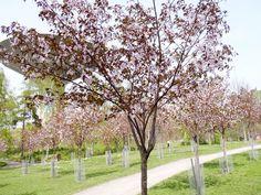 Roihuvuoren kirsikkapuisto Helsinki, Finland, Cherry, Park, Plants, Historia, Museum, Parks, Prunus