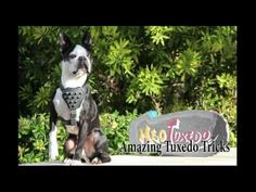 Here is a video which is showing the best tricks that were performed by Tuxedo the amazing Boston Terrier. These are all of his best tricks together in one video. Boston Terrier Love, Boston Terriers, Cute Gif, Tuxedo, Best Dogs, Pugs, Funny Animals, Videos, Amazing