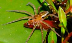Fishing spider (Dolomedes facetus) pictured with a captured fish