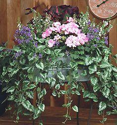 Container Gardening Idea 11:     Dead or Spotted Nettle (Lamiastrum maculatum)  attractive foliage that will trail 2-3 feet     1. Geranium - Light Lavender    2. Nemesia - Royal Blue    3. Magilla Perilla    4. Bacopa - Upright White    5. Lamiastrum Jade Frost