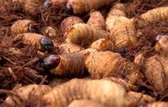 Águas de Pontal: Larvas viscosas ajudam no combate à desnutrição na...