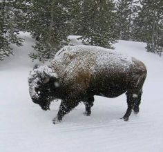 American bison  covered in snow in Yellowstone