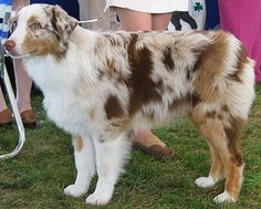 Australian Sheep Dog - love the patterns on these dogs. so pretty and none of them share the same colours/patterns :)