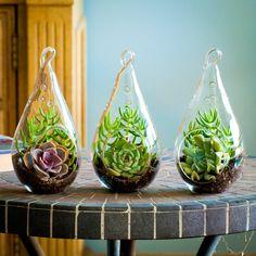 "Tear-drop Succulent Terrarium Trio Kit: Perle von Nurnberg, Echeveria Derenbergii, Echeveria Runyonii ""Topsy Turvy"" & Crassula Tetragona on Etsy, $35.99"