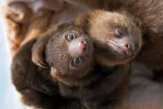 Beautiful sloths having a Wuvely cuddle