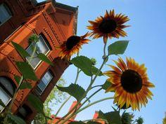 summer sunflowers in the city  washington, dc aug 2011