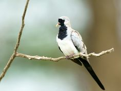 A male Namaqua Dove (Oena capensis) photographed by David Cook at Kruger National Park, Mpumalanga, South Africa
