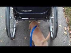 Golden Retriever #Puppy Walks Itself - #funny #cute #dog