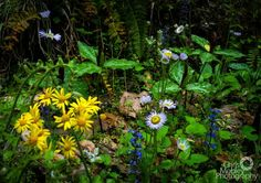 This is a great example of the amazing biodiversity that can be found in the Great Smoky Mountains. How many different plants do you see in this photo? Photo by Chris Mobley. Mountain Vacations, Different Plants, Great Smoky Mountains, Wild Flowers, National Parks, Amazing, Places, Garden, Wild Things