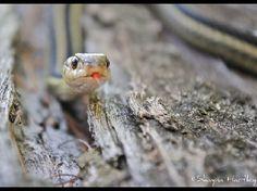 Garter Snake  -  Eastern Garter Snake