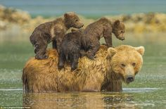 Magical: He said this photo, 'where the mother bear stops in the water, stands up with her beloved cubs balancing on her back and looks at us is magical'