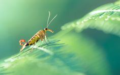 Sunbathing in the undergrowth - Scorpion Fly (Mecoptera) met in the forest.