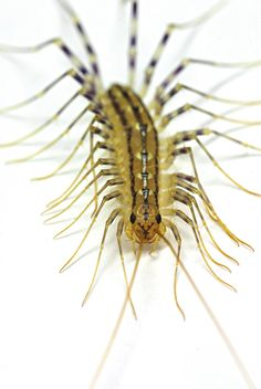 Meet the House Centipede. I just *did* meet the House Centipede. Cool Bugs, Creature Drawings, Life Form, Long Legs, Pest Control, Spirit Animal, Animals And Pets, Cool Stuff, Biggest Fears