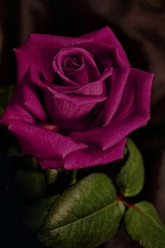 purple rose♥