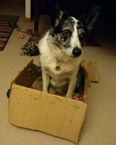 Roscoe in his toy box. Quoyloo, Orkney. March 2016. Photo by Graham Brown.
