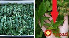 Toto by mal vedieť každý: Neprehliadajte malinové listy, sú neuveriteľne užitočné! Herb Garden, Home And Garden, Herbs, Gardening, Homemade, Plants, Recipes, Tips, Medicine
