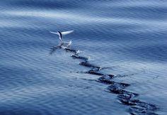 Летающая рыба Exocoetidae. Обсуждение на LiveInternet - Российский Сервис Онлайн-Дневников