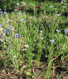 Род васильков располагает широкой цветовой гаммой. В степях, на солнечных лугах и лесных полянах, а также на залитых солнцем горных склонах произрастают разнообразные виды васильков, наряды которых окрашены в желтый, малиновый, кремовый оттенки. К полезным качествам васильков, делающих их желательным растением в цветнике, стоит добавить также еще одно – они отличные медоносы! Васильки привлекают пчел в сад, что немаловажно.
