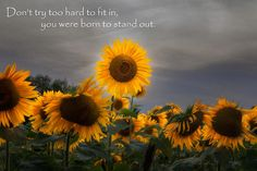 From Buttonwood farm, Griswold Connecticut. #sunflowers #motivational #inspirational